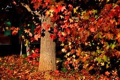 Il cortile (fiumeazzurro) Tags: autumn colour seasons natural toscana bellissima alberoefoglia anthologyofbeauty sailsevenseas organicandgmofreeworld