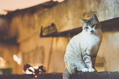 _DSC0392 (Carlos Fachini ™) Tags: animals cat 50mm nikon gato felinos animales nikond7000