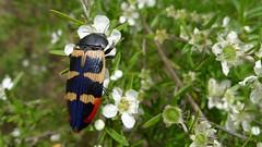 buprestid OO (John Tann) Tags: december beetle australia nsw coleoptera buprestidae 2013 jewelbeetle buprestid taxonomy:order=coleoptera geo:country=australia taxonomy:family=buprestidae wollemiyengo