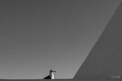 De líneas y curvas. (jcof) Tags: bw bird blancoynegro portugal bn algarve gaviota albufeira pájaro 2013 senhoradarocha