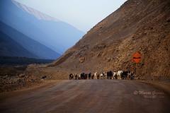 Rebao de cabras (Marcos GP) Tags: peru pastor arequipa chivo ganaderia chivato marcosgp