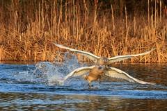 Flapping around (Karen Antcliffe) Tags: light white bird water golden swan wings off take splash flapping mute splashing