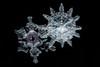Snowflakes (linden.g) Tags: macroextreme dragondaggerphoto dragondaggeraward lindengledhillcom httpwwwlindengledhillcom