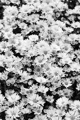 daisypattern (kuuan) Tags: flowers bw 85mm olympus vietnam mf f2 tet saigon zuiko manualfocus hcmc fzuiko f285mm olympusfzuikoautotf285mm