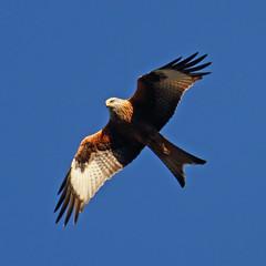 Red Kite (Treflyn) Tags: red wild kite bird garden reading back wildlife raptor prey berkshire earley
