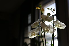 O66A1339 (OnrPhotography) Tags: white plant orchid flower beyaz iek orkide