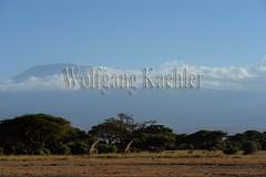 10070798 (wolfgangkaehler) Tags: africa landscape scenery kenya african wildlife scenic mountkilimanjaro giraffe amboseli kenyan eastafrica eastafrican giraffacamelopardalistippelskirchi masaigiraffe amboselinationalpark amboselikenya amboselinatlparkkenya