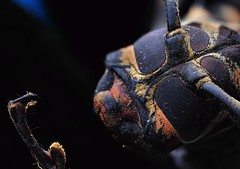 Acroncinus longimanus, Harlequin longhorn beetle (_papilio) Tags: macro canon invertebrate canonmpe65mm papilio arthropod 6d