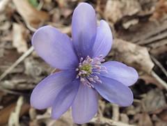 IMG_2929 (germancute) Tags: flower nature spring blume