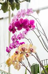Blooming orchids 2014 (The Adventurous Eye) Tags: plant orchid flower garden orchids brno exposition flowering botanic orchideje zahrada blooming botanick univerzita mendelu orchidej 132014 mendelova kvtouc