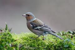 Vink-7430 (Theo Locher) Tags: birds vogels fringillacoelebs chaffinch vink copyrighttheolocher
