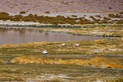 Flamingoes. (david takes photos) Tags: losflamencosnationalreserve reservanacionallosflamencos salardetara tara atacama chile flamingo flamingoes sanpedrodeatacama regióndeantofagasta x