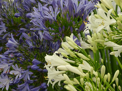 Agapanthus P1220689mods (Andrew Wright2009) Tags: hampton court flower show rhs royal horticultural society essex england uk flowers plants garden cultivated agapanthus blue white