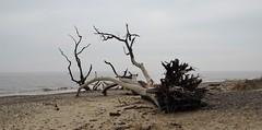 Covehithe (Steph-nine) Tags: covehithe benacre suffolk coast erosion favouritetree