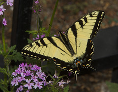Eastern Tiger Swallowtail, male (Papilio glaucus) (AllHarts) Tags: maleeasterntigerswallowtialpapilioglaucus memphistn dixongardens verbena naturesspirit thesunshinegroup thebutterflygallery naturescarousel ngc challengeclubchampions