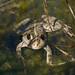 Frosch im Teich (_IMG7323)