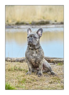 French Bull Dog ...