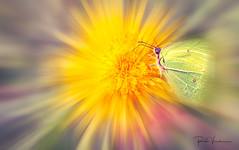 Butterfly Effect. (rudi.verschoren) Tags: citroenvlinder gonepteryxrhamni colors flower outdoor macro spring creative yellow butter butterfly effect