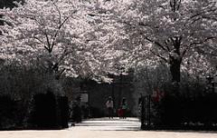 arbre en fleur - Tree in bloom (n° N6MAA10816) Tags: parc park tree arbre extérieur outdoor desaturation red rouge fabuleuse