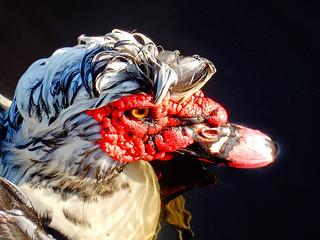 Muscovy Duck  (N1655)