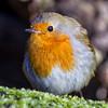 Robin / Roodborst (rob.bremer) Tags: roodborst robin europeanrobin erithacusrubecula duinen dunes kennemerduinen noordhollandsduinreservaat noordholland karpervijver bakkum