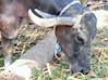DSC_0924 (RachidH) Tags: cattle gamous buffalo waterbuffalo bubalus bubalusbubalis buffle saqqara dahshour memphis egypt rachidh nature