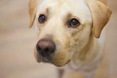 G-osn Leo (salaminijo) Tags: leka2 leo leka dog pet puppy lab labrador labradorretriver cute beauty yellowlab indoor portreit portret ljubimac zemun bgd canon eos gosnleo