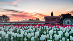 one of 3 million (Ben McLeod) Tags: graduatedndfilter johndeere mthood oregon woodenshoetulipfestival clouds dawn flowers sunrise tractor tulips