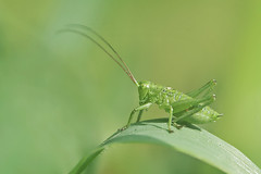 Radio (Luis-Gaspar) Tags: animal insect insecto cricket bushcricket greatgreenbushcricket grilo esperança tettigoniaviridissima orthoptera tettigoniidae portugal oeiras nikon d60 18105 f56 1500 iso400