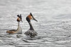 The grebe family (Marijke M2011) Tags: grebe podicepscristatus twogrebes grebefamily birds couple nature wildlife peaceful water waterfowls animals courtshipbehavior