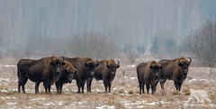 Buffalo Line Up (fascinationwildlife) Tags: animal mammal europe european bison wisent wild wildlife winter nature natur national park bialowieza north eastern poland polen forest endangered species bull