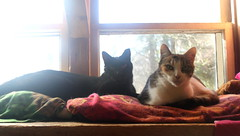 Noah and Patches photo of the day 3/4/2017 (Patches Madison) Tags: noah patches calico black cute sweet adorable ♥