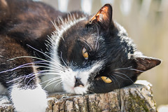 Frankie Cat (Marcy Leigh) Tags: cat pet frankie frankiecat thebestthingsinlifearefree outdoor outdoors stump eyes content whiskers 117picturesin2017 garden fence