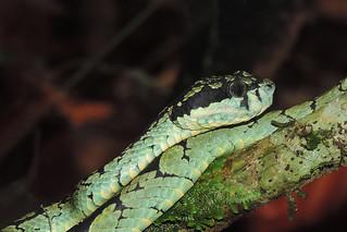 Sinharaja - Sri Lankan Green Pit Viper