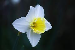 Daffodil in Dark (70/365)