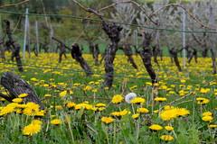 Dandelions | Löwenzahn (rainbowcave) Tags: dandelion blowball field nature löwenzahn feld bäume rheinhessen pusteblume