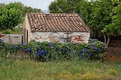 Dog in Agia Marina (dreptacz) Tags: natura budynek dach dachówka pies kwiaty ogród powój lustrzanka sony55 slt55 grecja wyspa ayiamarina kreta trawa drzewa