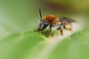 Female miner bee (Lord V) Tags: macro bug insect bee minerbee andrena
