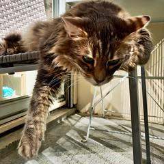 Lost, c'est son nom ! (freddylyon69) Tags: mycat relax balcony cat lost