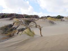 2017-03-21 Deforestation - Formby (Mark Edwards (FPG)) Tags: formby deforestation forest tree wind gale sand beach trees dunes
