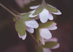 dreaming of hepatica (brennapear) Tags: flower fleur spring bloom blossom soft hepatica