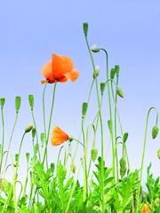 Springtime poppies (AMoska) Tags: natureza nature flora flores flowers papoila poppy primavera spring floralfantasy mixofflowers doublefantasy