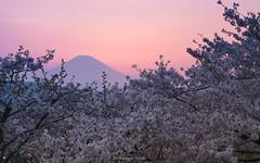 富士山 Mt.Fuji (Masayuki Nozaki) Tags: mtfuji fujisan fujiyama mountain sakura cherry sunset pink sky landscape japan sony α7r2 ilce7rm2 mc11 ngc 富士山 桜