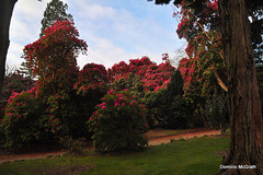Early morning in Kilmacurragh. (mcgrath.dominic) Tags: rhododendrons botanicgardens kilmacurragh cowicklow