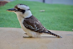 Australian native bird, Kookaburra. (Lance # Urban photographer) Tags: kingfisher kookaburra birds bird australian