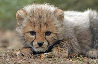 cheetah Beekse Bergen BB2A7917