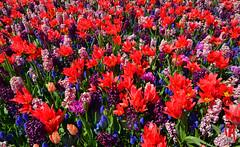 Phot.Lisse.Keukenhof.Flower.Power.01.041623.7890.jpg (frankartculinary) Tags: nikon d800 d300 d200 f2 f3 f4 coolpix frankartculinaryyahoode netherlands nederland holland niederlande paísesbajos paysbas paesibassi keukenhof park rotterdam denhaag alkmaar scheveningen lisse beatrixkwartier dutch käse cheese fromage formaggio queso flowers blumen fleur flores tulpen tulipes tulipanes tulipani parade desfile parata square places place plaza plätze strasen rue calle strada streets markt market mercato marché mercado binnenhof blaaktower cubehouses alpaca narcissuse waffle