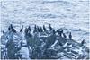 Aalscholvers (HP023834) (Hetwie) Tags: natuur visitlofoten snow sneeuw nature mountains sea rots aalscholvers zonsondergangsea water rock zee winter ice noorwegen norway lofoten landscape landschap bergen myrland nordland