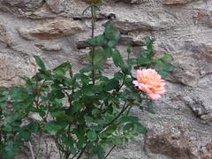 ** Castelnou...ses belles pierres...** - 62 (Impatience_1 (peu...ou moins présente...)) Tags: castelnou catalogne villagemédiéval medievalvillage village languedocroussillonmidipyrénées pyrénéesorientales aspres roussillon france pierre stone rose fleur flower verdure greenery impatience wonderfulworldofflowers saveearth supershot coth abigfave fabuleuse sunrays5 coth5 alittlebeauty