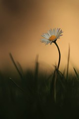 Flower power... (Alex Switzerland) Tags: flower delicate bokeh sfocato colors daisy outdoor macro monday fiore spring springtime blumen switzerland wood canon eos 6d